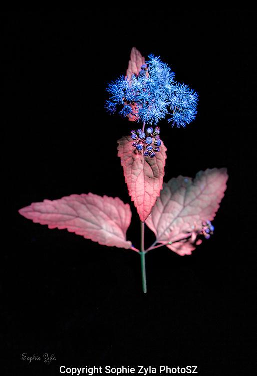Blue Mistflower Profile in UV