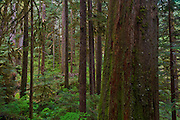 South Fork Skokomish River virdant coniferous forest including a standing trunk of a large dead tree. Olympic National Forest on the south end of the Olympic Mountains, Washington, USA