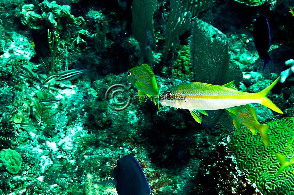 Yellow Goatfish, Mulloidichthys martinicus, Grand Cayman