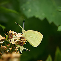 Small White Butterfly. Spring Outdoor Nature in New Jersey. Image taken with a Nikon D3s and 200-400 mm f/4 lens (ISO 2200, 400 mm, f/5.6, 1/400 sec). Raw image processed with Capture One Pro 6, Focus Magic, Nik Define, and Photoshop CS5.