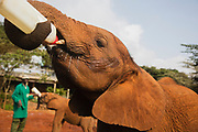 An orphaned elephant calf (Loxodonta africana) holding a bottle of milk by himself and drinking it at the David Sheldrick Wildlife Trust orphanage for elephants orphaned as a result of the elephant calves' mothers being poached for their ivory, Nairobi, Kenya