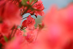 Photo taken on April 5, 2016 shows blooming azalea blossoms at Dangjiao Village in Liping County, southwest China's Guizhou Province. EXPA Pictures © 2016, PhotoCredit: EXPA/ Photoshot/ Yang Daifu<br /> <br /> *****ATTENTION - for AUT, SLO, CRO, SRB, BIH, MAZ, SUI only*****