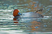 Redhead Duck, Aythya americana, male, floating on back preening, cleaning, Lakewood, Colorado aquatic-birds close-ups details fowl free independence natural-world ornithology untamed water waterfowl web-footed wild Zoology