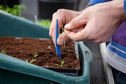 Pricking out cosmos seedlings into a module tray