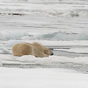 Polar bear (Ursus maritimus) hunting an open hole in the sea ice. Svalbard, Norway