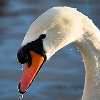 A Mute Swan drips icy water as it looks for food on Perth's South Inch after overnight snow and freezing temperatures….12.01.17<br />Picture by Graeme Hart.<br />Copyright Perthshire Picture Agency<br />Tel: 01738 623350  Mobile: 07990 594431