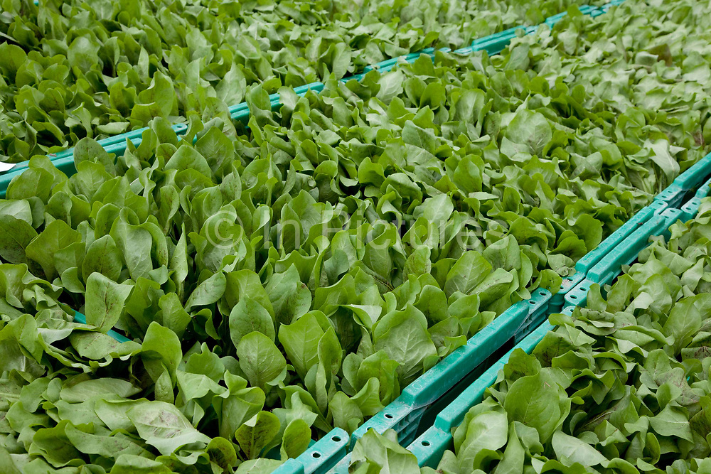 Bulk lettuce in boxes ready for dispatch, Riverford organic farm, Devon, UK food industry