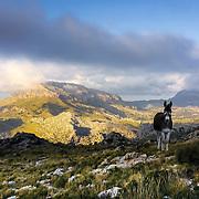 Donkey in Mallorca mountains.