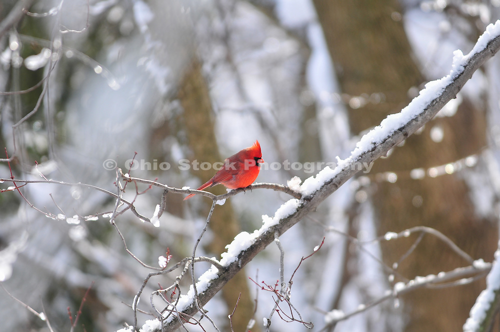 Photo of a male Northern Cardinal in the snow.