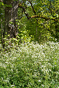 Cow Parsley - Anthriscus sylvestris, blooming in springtime and Lime Tree, Tilia, or Linden broadleaf deciduous tree in full leaf, UK