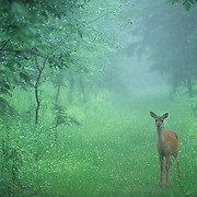 Whitetail Deer (Odocoileus virginianus) doe pauses along a trail in the woodlands of northern Minnesota during the summer.