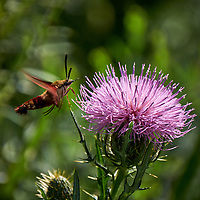 Hummingbird Clearwing Moth on a Thistle Flower. Image taken with a Fuji X-T1 camera and 100-400 mm OIS lens (ISO 200, 400 mm, f/5.6, 1/680 sec).