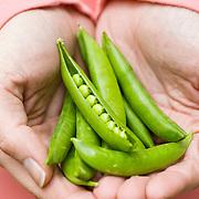 snap peas in the hands of female gardener
