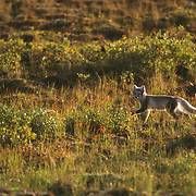 Arctic fox (Vulpes lagopus), in its summer coat phase, during early morning. Churchill, Manitoba, Canada