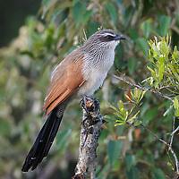Centropus superciliosus, Kenya