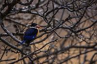Black-capped kingfisher, Halcyon piliata, bird sitting in tree branches in Serxu, Garze Prefecture, Sichuan Province, China