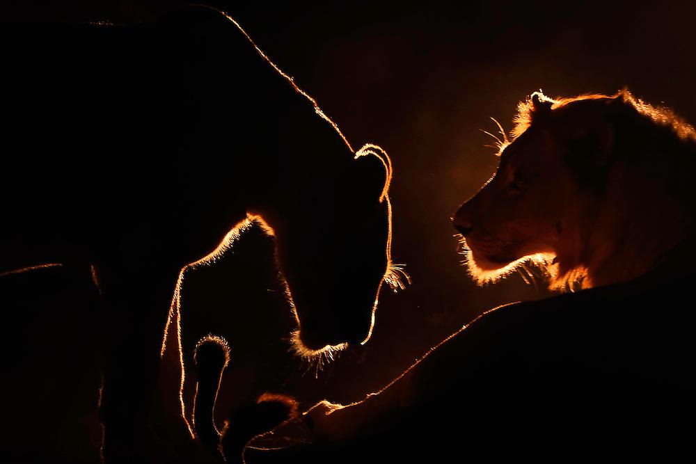 African lion, Panthera Leo, Zimanga Private Nature Reserve, KwaZulu Natal, South Africa