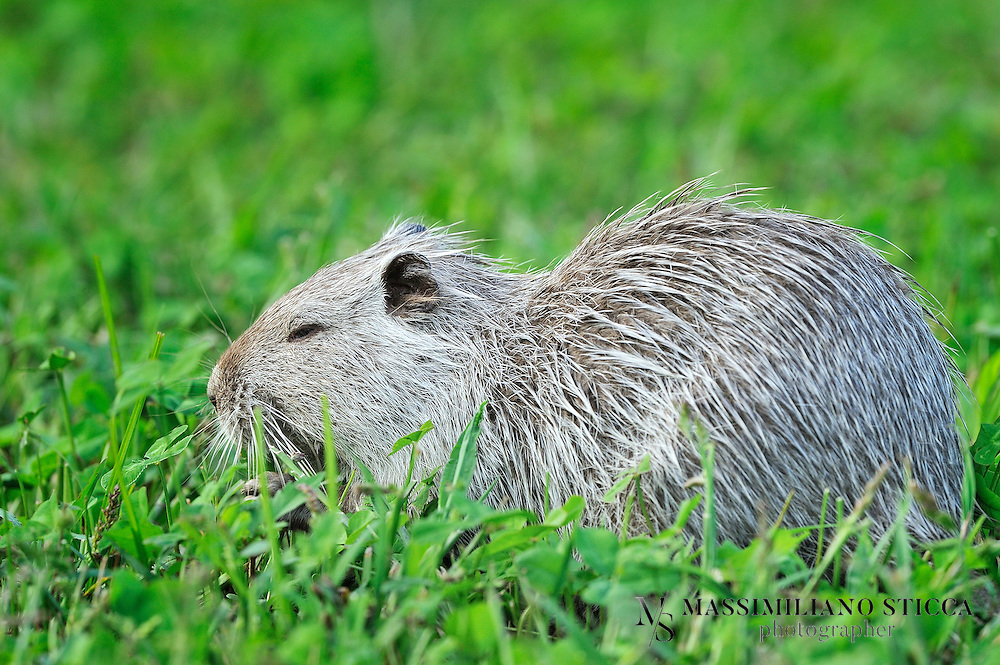 """The coypu (from the Mapudungun, koypu), (Myocastor coypus), also known as the river rat, and nutria, is a large, herbivorous, semiaquatic rodent and the only member of the family Myocastoridae. Originally native to subtropical and temperate South America, it has since been introduced to North America, Europe, Asia, and Africa, primarily by fur ranchers. Although it is still valued for its fur in some regions, its destructive feeding and burrowing behaviors make this invasive species a pest throughout most of its range.<br /> There are two commonly-used names in the English language for Myocastor coypus. The name """"nutria"""" (or local derivatives such as """"nutria- or nutra- rat"""") is generally used in North America and Asia; however, in Spanish-speaking countries, the word """"nutria"""" refers to the otter. To avoid this ambiguity, the name """"coypu"""" (derived from the Mapudungun language) is used in Latin America and Europe. In France, the coypu is known as a ragondin. In Dutch it is known as beverrat (beaver rat). In Italy, instead, the popular name is, as in North America and Asia, """"nutria"""", but it is also called castorino (""""little beaver""""), by which its fur is known in Italy. Coypus live in burrows alongside stretches of water. They feed on river plants, and waste close to 90% of the plant material while feeding on the stems."""