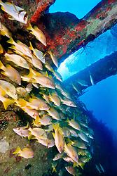 schoolmasters, Lutjanus apodus, .Benwood, Key Largo, Florida Keys NMS, .Florida (Atlantic)