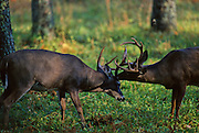 White-tailed deer bucks having a territorial dispute.