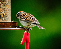 Chipping Sparrow. Image taken with a Fuji X-T3 camera and 200 mm f/2 lens and 1.4x teleconverter.