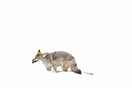 A coyote eats a vole in a snow covered meadow.
