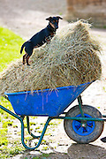 Jack Russell puppy playing on a wheelbarrow of hay, England, United Kingdom
