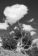 Ancient Bristlecone Pine and Cloud, White Mountains, Inyo National Forest, California