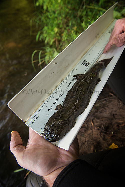 Eastern Hellbender (Cryptobranchus alleganiensis alleganiensis) length measurement<br /> CAPTIVE<br /> Hiwassee River, Cherokee National Forest<br /> Tennessee<br /> USA<br /> HABITAT & RANGE: Clear, fast-flowing streams and rivers of Susquehanna River drainage in southern New York and Pennsylvania, and large portions Missouri, Ohio, and Mississippi River drainages from western Pennsylvania, southern Ohio, extreme southern Indiana, most of West Virginia, Kentucky, and Tennessee, northern Alabama and Georgia, western North Carolina and Virginia.