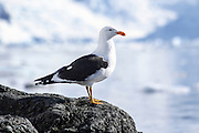 kelp gull (Larus dominicanus) photographed in Wilhelmina Bay, Antarctica in November.