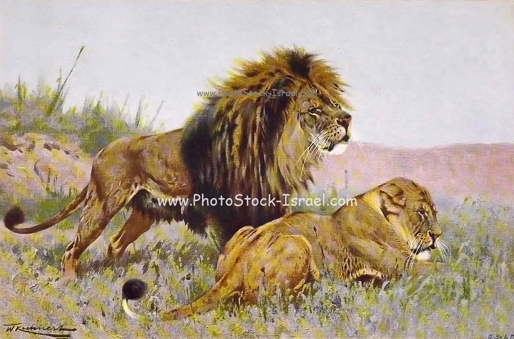 LION and Lioness (Panthera leo here as Felts Leo) from the book '  Animal portraiture ' by Richard Lydekker, and illustrated by Wilhelm Kuhnert, Published in London by Frederick Warne & Co. in 1912
