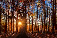 Sunbeams through an old tree