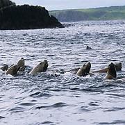 Northern Fur Seal, (Callorhinus ursinus)  Approaches with curiosity. Near Kodiak Island. Alaska.