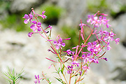 Pink Alpine wildflower, Photographed in Austria, Tyrol
