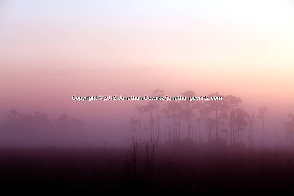 A stand of pine trees looms out of the pre-dawn fog on the sawgrass prairie of Everglades National Park, Florida. WATERMARKS WILL NOT APPEAR ON PRINTS OR LICENSED IMAGES.