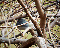 """Dark-eyed """"Slate-colored"""" Junco Hiding in the Bushes. Backyard Spring Nature in New Jersey. Image taken with a Nikon 1 V2 camera, FT1 adapter,and 28-300 mm VR lens (ISO 160, 300 mm, f/5.6, 1/200 sec)."""
