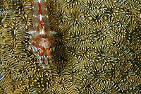 Triplefin fish resting on a hard coral