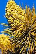 Joshua Tree in bloom at  Joshua Tree National Park in California