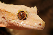 Crested Gecko (Rhacodactylus ciliatus) native to New Caledonia, rediscovered in 1994, captive.
