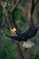 Female Knobbed Hornbill (Aceros cassidix) in flight..Tangkoko Batuangus/Dua Saudara Nature Reserve, Sulawesi Island, Indonesia.