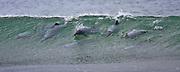 Hector Dolphin, Curio Bay, New Zealand