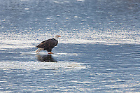 An lone bald eagle (Haliaeetus leucocephalus) standing on a small piece of ice in the middle of the Chilkat River. Alaska Chilkat Bald Eagle Preserve.