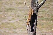 A cheetah (Acinonyx jubatus) jumping down from a tree during the calving season of the great migration , Ndutu, Ngorongoro Conservation Area, Tanzania, Africa