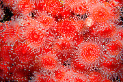 UNDERWATER MARINE LIFE EAST PACIFIC: Northeast ANEMONES: Strawberry anemone Corynactis californica