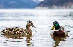 THEMENBILD - zwei Enten schwimmen im Zeller See, aufgenommen am 31.Maerz 2015, am Zeller See, Zell am See, Oesterreich // two ducks swimming in Lake Zell, Zell am See, Austria on 2015/03/31. EXPA Pictures © 2015, PhotoCredit: EXPA/ JFK