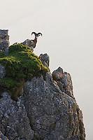 Mouflon/Ovis musimon/male on rock in overlooking position/Parc naturel regional du Haut-Languedoc/Caroux/France