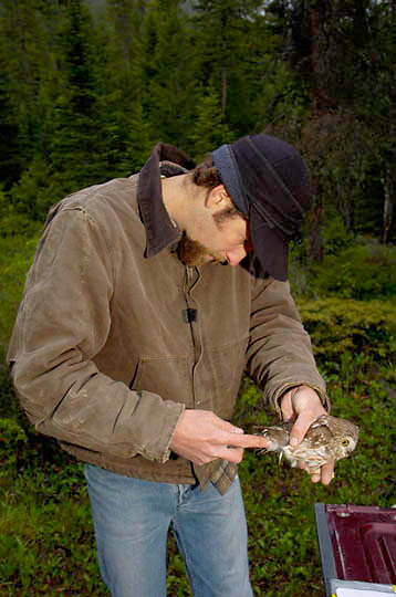 Researcher taking data on Northern Saw-Whet Owl (Aegolius acadicus) Montana.