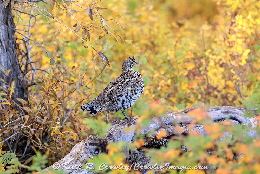 A young Ruffed Grouse perches on a downed log in brilliant fall colors