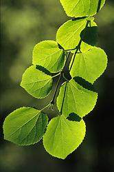 Backlit spring foliage of Cercidiphyllum japonicum - Katsura tree