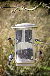 Great tit - Parus major - and male and female bullfinches - Pyrrhula pyrrhula - on a wild bird seed feeder filled with sunflower seeds